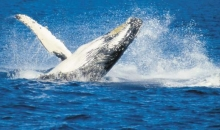 Whale Watch Cruise, Fraser Island
